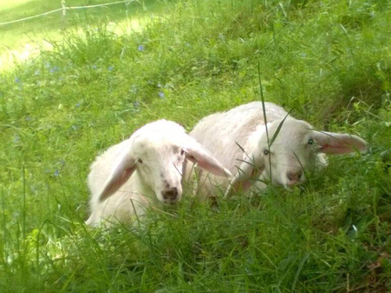 beli jagnjeti bovška ovca sir in skuta apartmaji Pretner Lepena